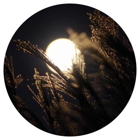 月明かりのすすき